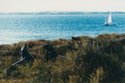 Photograph: Seals on Enderby Island, TOTORORE off shore
