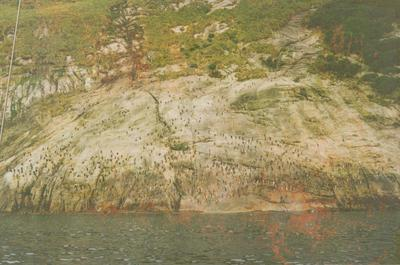 Photograph: Penguin slope, Snares island, from log book of the TOTORORE