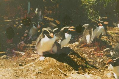 Photograph: Snares Erect crested penguins, from the log book of the TOTORORE
